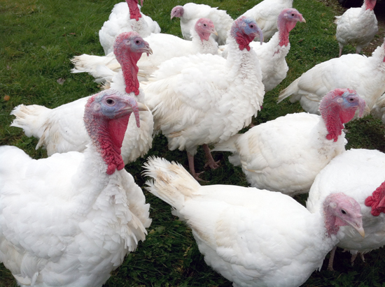 Ephraim Turkeys